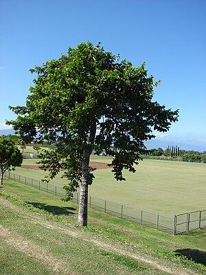 Cananga odorata - A Cananga odorata in Maui