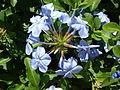 Starr 070207-4265 Plumbago auriculata.jpg