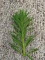 Starr 070515-7063 Myriophyllum aquaticum.jpg