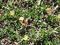 Starr 080602-5344 Oenothera laciniata.jpg