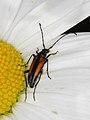 Stenurella melanura (Cerambycidae- Lepturinae), ♀ (9545319652).jpg