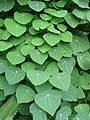 Stephania cephalantha 玉咲葛藤 (天問) 001.jpg