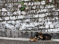 Still Life with Dog and Wall - Darjeeling - West Bengal - India (12406518573).jpg