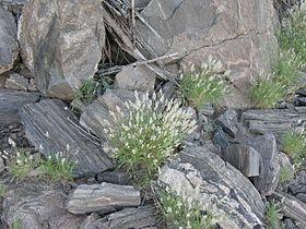 Stipagrostis obtusa IMG 8586.JPG