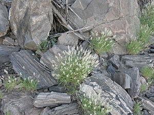 Stipagrostis - Stipagrostis obtusa