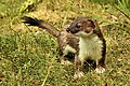 Stoat - RSPB Sandy (27924608704).jpg