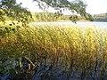 Strausseeufer - Schilf (Straussee Bank - Reeds) - geo.hlipp.de - 29687.jpg
