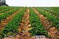Strawberry fields forever - geograph.org.uk - 561438.jpg