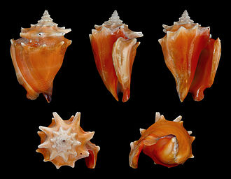 Strombus - Five views of a shell of the West Indian fighting conch, Strombus pugilis, type species of the genus Strombus