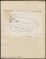 Stylophorus chordatus - 1700-1880 - Print - Iconographia Zoologica - Special Collections University of Amsterdam - UBA01 IZ13700011.tif