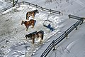 Sun Peaks Alpine Scenes - feed and rest before the evening sleighrides (15647021336).jpg