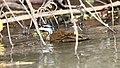Sungrebe (Heliornis fulica) (5771826725).jpg