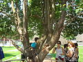 Survivor Tree at the National September 11 Memorial Old and New Growth.jpg