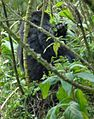 Susa group, mountain gorillas the other twin - Flickr - Dave Proffer.jpg