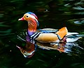Swimming Mandarin drake at Bushy Park, Dublin.jpg