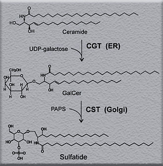 Sulfatide - Synthesis of sulfatide