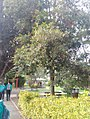 Syzygiumpaniculatom464546.jpg