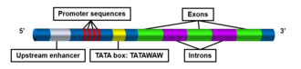 TATA box - Figure 1. TATA box structural elements. The TATA box consensus sequence is TATAWAW, where W is either A or T.