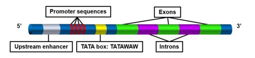 TATA box description
