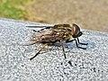 Tabanus autumnalis (Tabanidae) (Large marsh horsefly) - (male imago), Arnhem, the Netherlands.jpg
