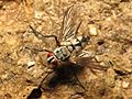 Tachinid Fly - Flickr - treegrow (1).jpg