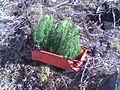Taimivakka ja kuusen taimia.jpg
