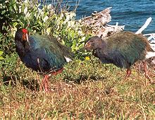 ニュージーランド固有の種の一つ、タカヘ