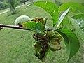 Taphrina deformans (Taphrinaceae), Nijmegen, the Netherlands - 2.jpg