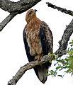 Tawny Eagle (Aquila rapax) (17258267679).jpg