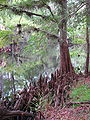 Taxodium distichum exposed knees.jpg