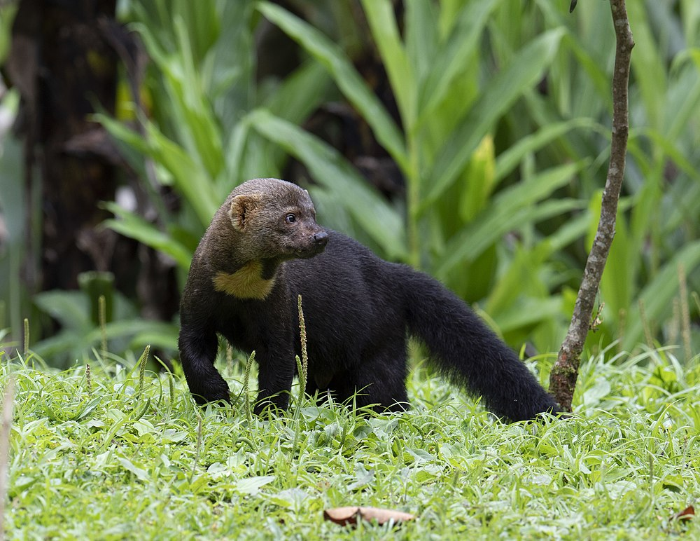 The average litter size of a Tayra is 2