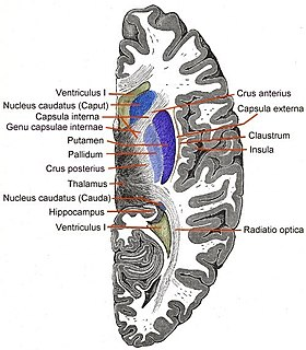 Internal capsule white matter structure situated in the inferomedial part of each cerebral hemisphere of the brain