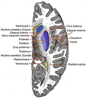 Internal capsule - Horizontal section of right cerebral hemisphere. (Capsula interna labeled at upper left.)