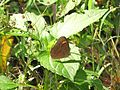 Telinga oculus Marshall, 1880 – Red-disc Bushbrown at Mannavan Shola, Anamudi Shola National Park, Kerala (39).jpg