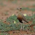 Temminck's courser, Cursorius temminckii, at Mapungubwe National Park, Limpopo Province, South Africa (46138157164).jpg