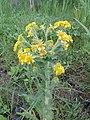 Tephroseris palustris kz06.jpg