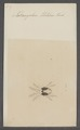Tetranychus - Print - Iconographia Zoologica - Special Collections University of Amsterdam - UBAINV0274 071 03 0028.tif