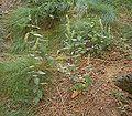 Teucrium scorodonia 03 ies.jpg