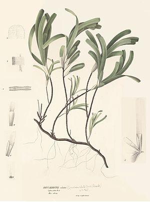 Thalassodendron ciliatum - Image: Thalassodendron ciliatum