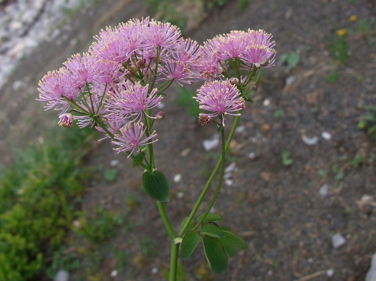 thalictrum aquilegifolium - wikipedia - Piccolo Giardino Sinonimo