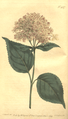 The Botanical Magazine, Plate 437 (Volume 13, 1799).png