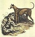 The Danish Dog (Cynographia Britannica,1800).jpg