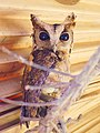 The Indian Scops owl.jpg
