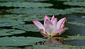 The Lotus.JPG