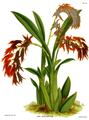 The Orchid Album-02-0018-0053-Ada aurantica.png