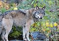 The Wolf (30536902171).jpg