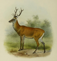 Illustration of Manchurian wapiti
