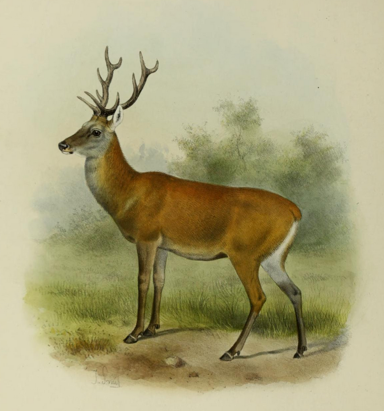 The deer of all lands (1898) Bedford's deer