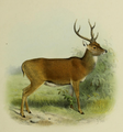 The deer of all lands (1898) Moluccan rusa.png