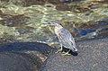 The striated heron (Butorides striata) is looking for prey.jpg